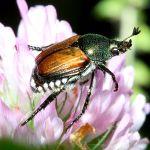 600px-Popillia_japonica