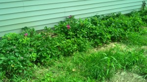 Strawberry Rose Patch